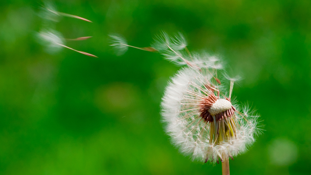 Dandelion Wish by John Liu via Flickr, Creative Commons 2.0