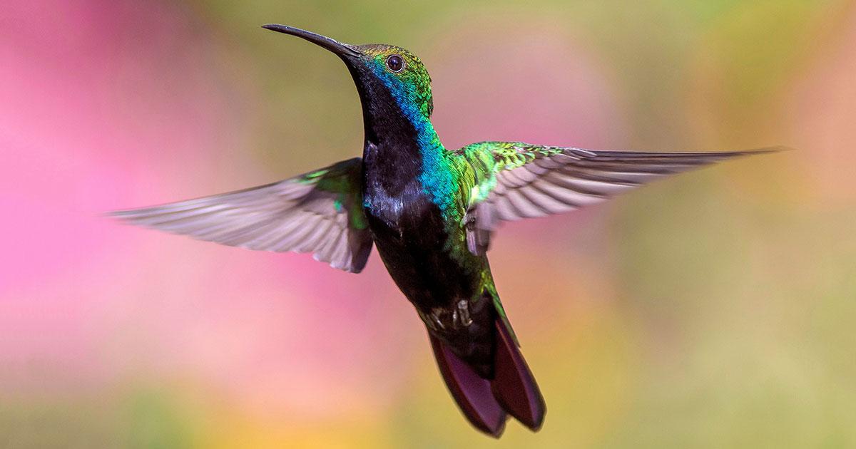 Hummingbird, Pedro Lastra via Unsplash