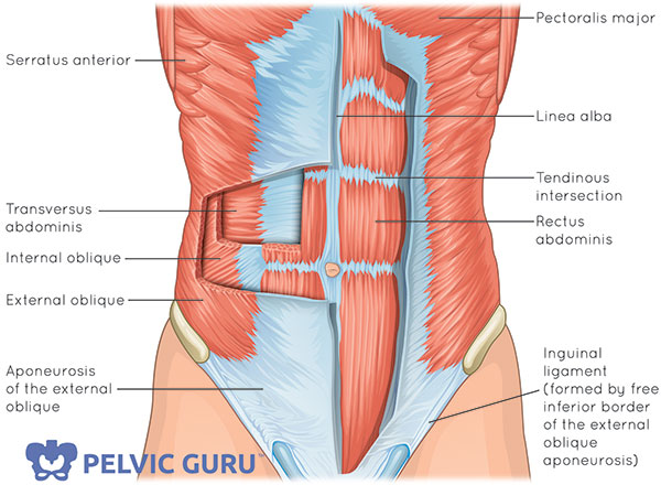 Illustration of the abdominal wall