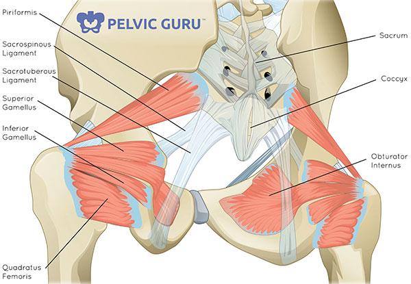 Diagram of the hip rotators