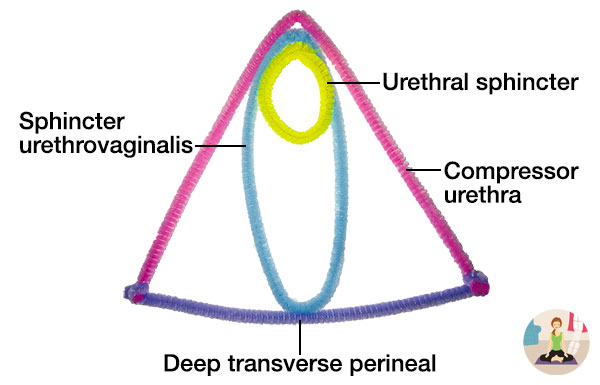 Diagram of second layer of the pelvic floor